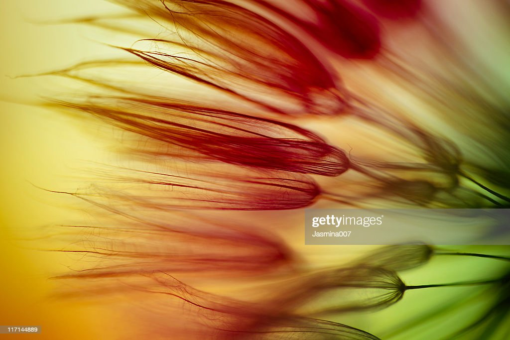 Dandelion seed abstract : Stock Photo