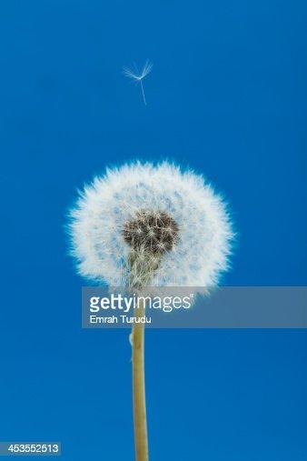 Dandelion seed flying on blue background