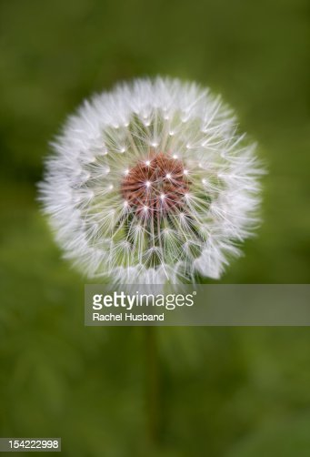 Dandelion seed head against muted green foliage : Stock Photo