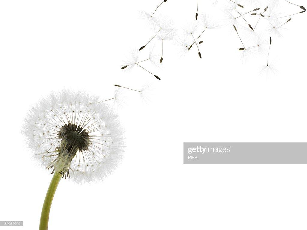 Dandelion (Taraxacum officinale) seed head blowing in wind : Stock Photo