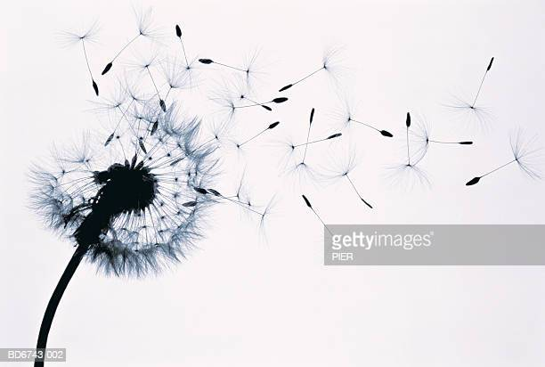 Dandelion (Taraxacum officinale) seed head blowing in wind (B&W)