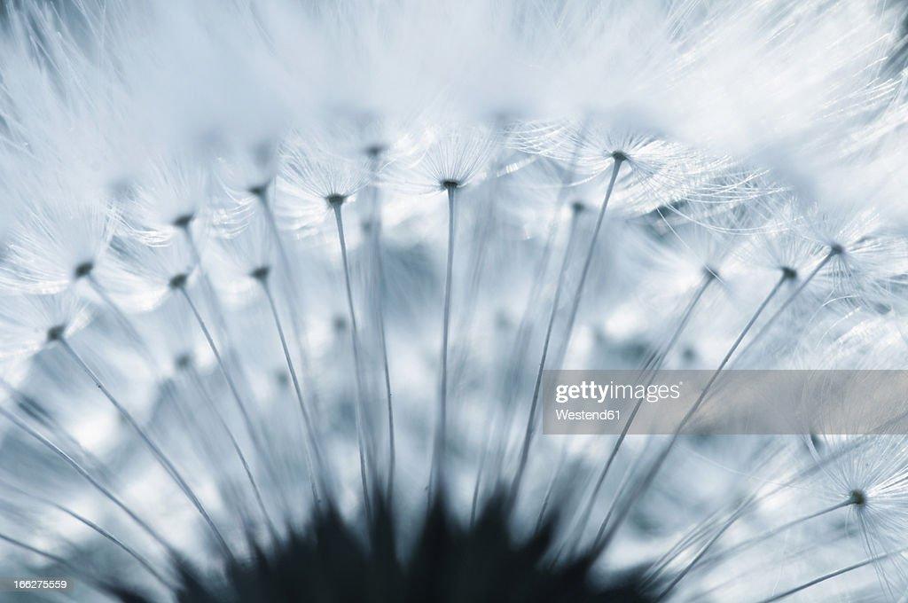 Dandelion (Taraxacum officinale) seed head, close-up
