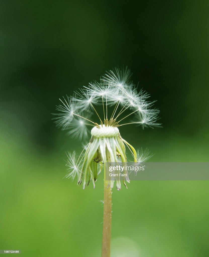 Dandelion seed head : Stock Photo