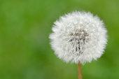 Dandelion Seed Head Taraxacum Officiale