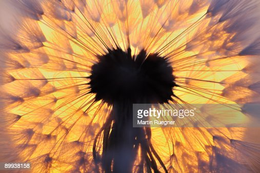 Dandelion seed head with sunrise sun in background : Foto de stock