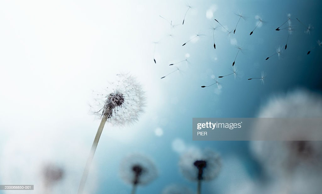 Dandelion seed heads and seeds floating in air, close-up