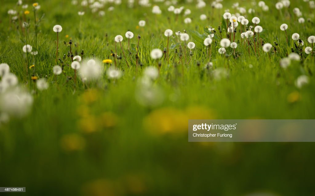 Dandelion seed heads grow in a grass meadow on April 30, 2014 in Knutsford, United Kingdom. Dandelion plants (Taraxacum officinale) are officially a weed plant but are commonly used to make beer, wine, soft drinks and herbal remedies.
