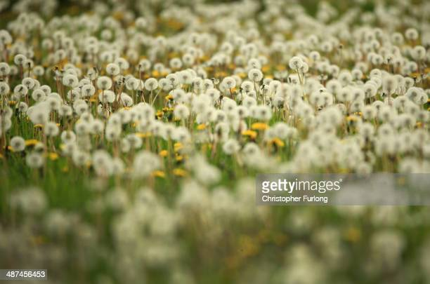 Dandelion seed heads grow in a grass meadow on April 30 2014 in Knutsford United Kingdom Dandelion plants are officially a weed plant but are...