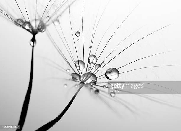 Dandelion seed macro