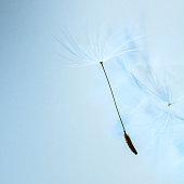 Dandelion seed on light blue background