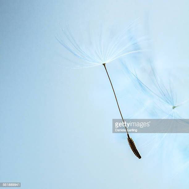Dandelion seed on light blue background