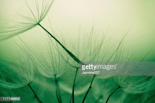 Dandelion seed : Stock Photo