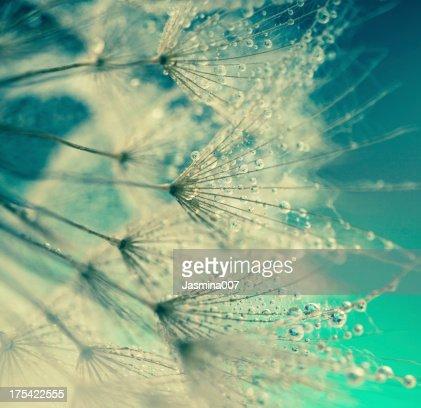 Löwenzahn Samen mit Wassertropfen
