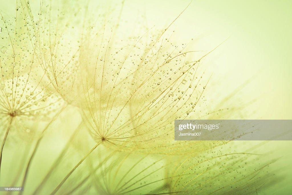 Löwenzahn Samen mit Wassertropfen : Stock-Foto