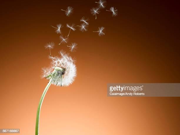 Dandelion seeds blowing against orange background