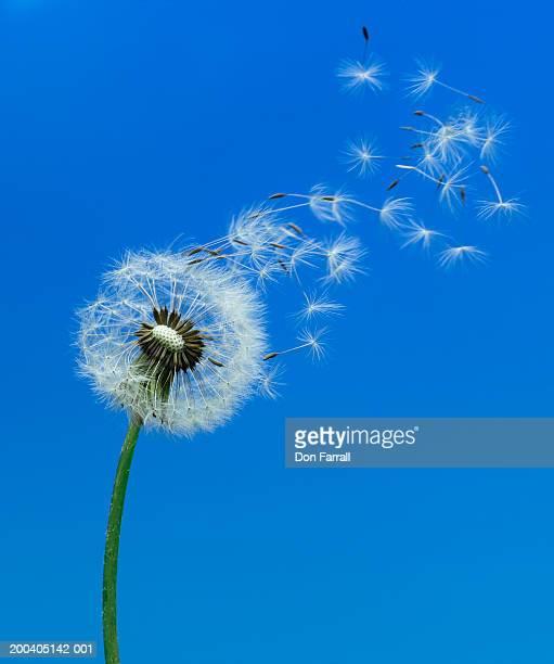 Dandelion seeds (Taraxacum officinale) blowing in wind