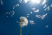 Dandelion seeds blowing into the sun