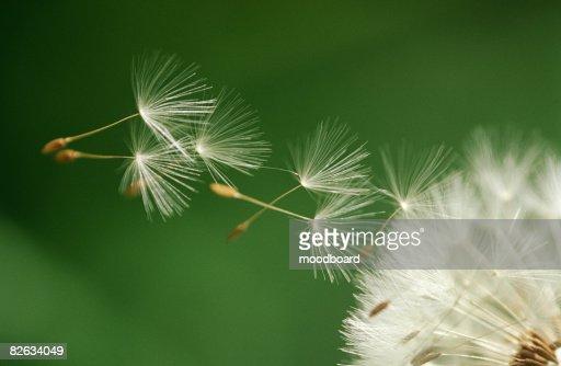 Dandelion seeds flying, extreme close up : Stock Photo
