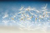 dandelion seeds macromacro dandelion fluffdandelion seeds macro