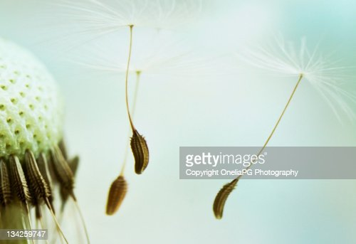 Dandelion Seeds : Foto stock