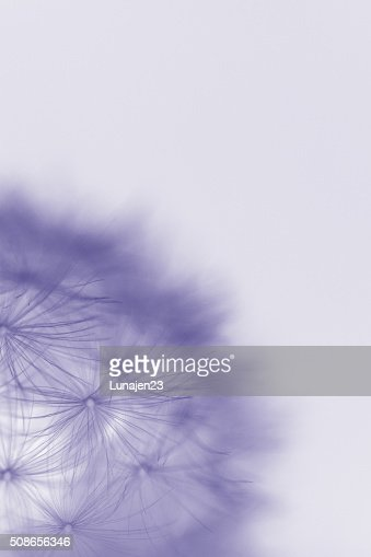 Dandelion Seeds : Stock Photo