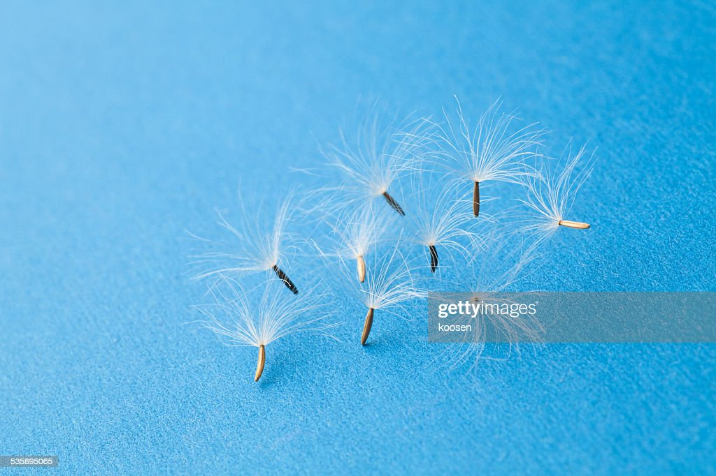 dandelion seeds : Stock Photo