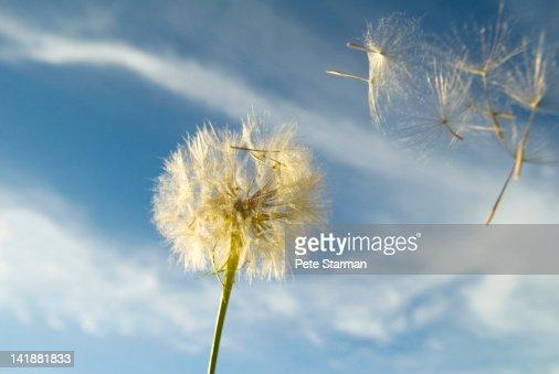 Dandelion seeds taking flight.