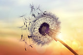 Dandelion silhouette against sunset with seeds blowing in the wind