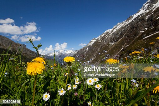 Dandelion -Taraxacum officinale- and other wildflowers, meadows, mountains behind, near Goeschenen, Goescheneralpsee, Reusstal, Reuss valley, Canton of Uri, Switzerland, Europe
