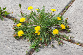 Yellow Dandelion, taraxacum officinale, growing on pavement