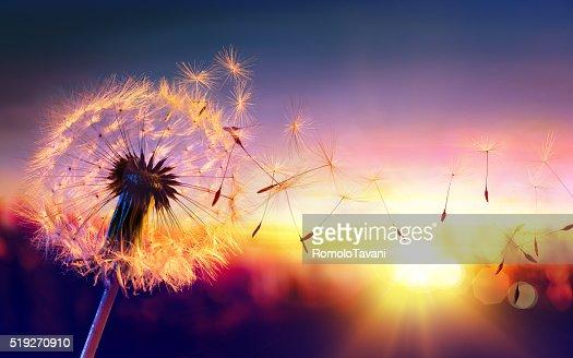 Löwenzahn bis Sonnenuntergang-Freiheit auf Wunsch : Stock-Foto