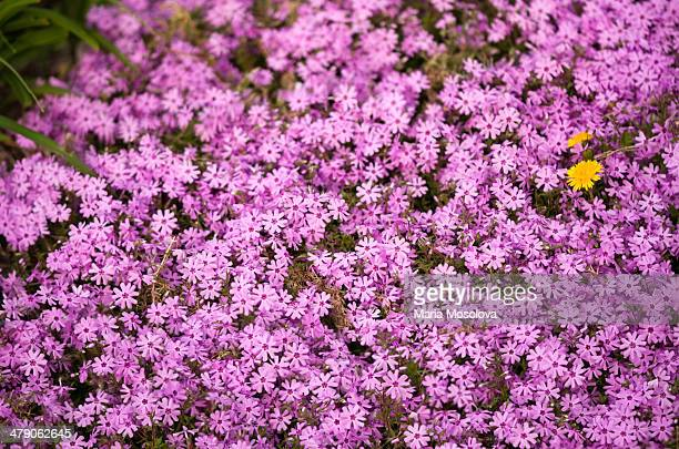 Dandelion Weed Blooming on a Patch of Pink Phlox