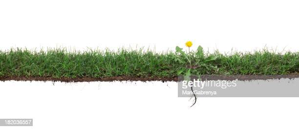 Dandelion weed in grass with roots