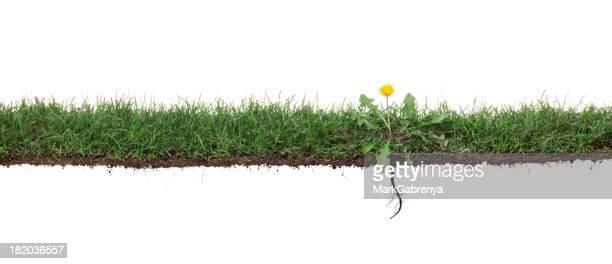Fleur de pissenlit feuilles d'herbe avec des racines