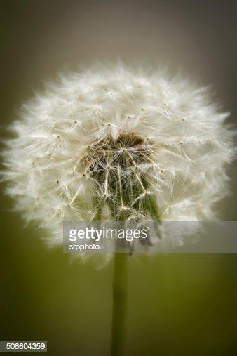 Dandelion wish : Stock Photo