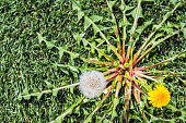 Looking down on a Dandelion (Taraxacum) with yellow flower and one seed head sprouting up from a green grass lawn