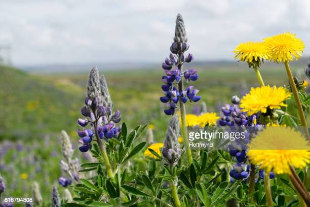 Dandelions and lupines, Iceland