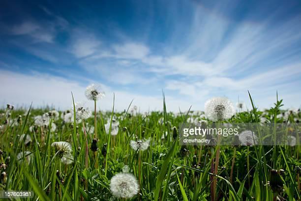 Dandelions in field.