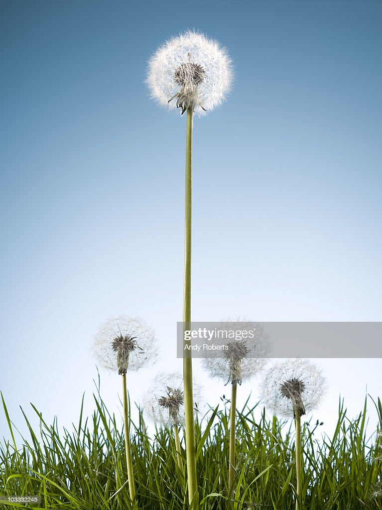 Dandelions in grass : Stock Photo