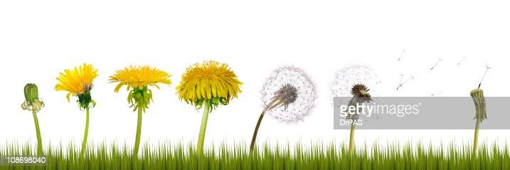 dandelions life in grass : Stock Photo