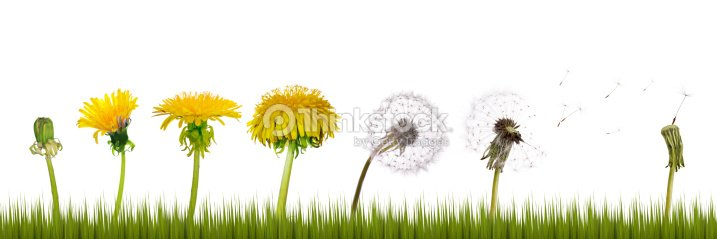 dandelions life in grass : Stock Photo