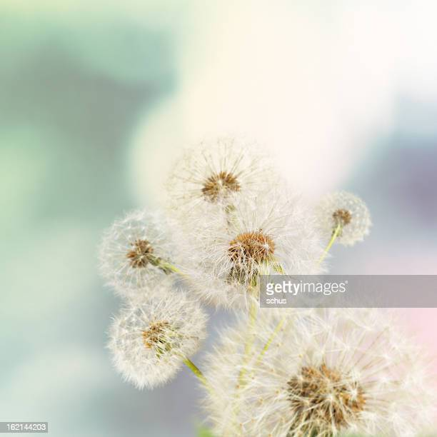 Dandelions on defocused background