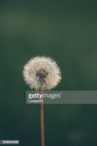 Dandelions : Stock Photo