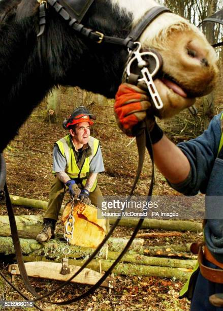 Dandy the Clydesdale horse with logger David Coates prepare to pull logs from a woodland gorge in the Clyde Valley near Crossford Scotland The...