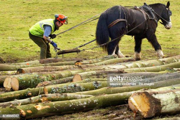 Dandy the Clydesdale horse with logger Graham Gilmour as they pull logs from a woodland gorge in the Clyde Valley near Crossford Scotland The...
