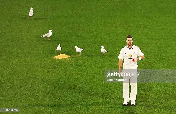 Daniel Christian of Victoria prepares to bowl as seagulls sit on the field during day two of the Sheffield Shield match between Victoria and Tasmania...