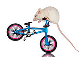 Daredevil White Mouse Stunt Riding on Bicycle Handlebars