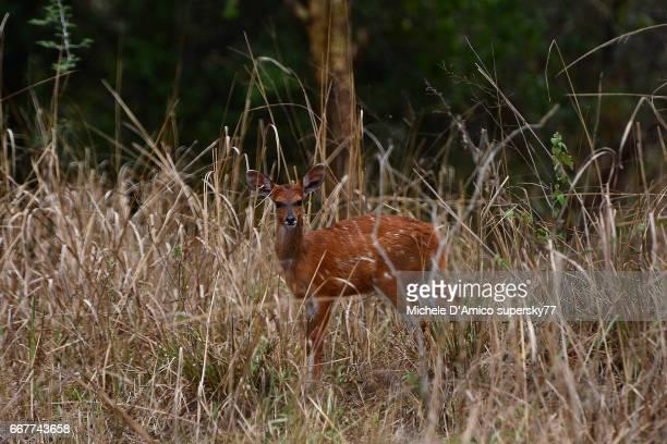 Daring female bushbuck in the savannah