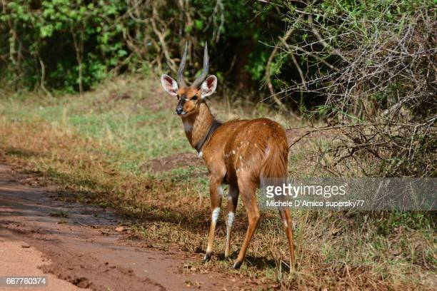 Daring male bushbuck in the savannah