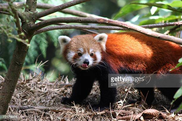 A male Red Panda rests at an open enclosure at the Padmaja Naidu Himalayan Zoological Park in Darjeeling 16 October 2006 The red panda is found in...